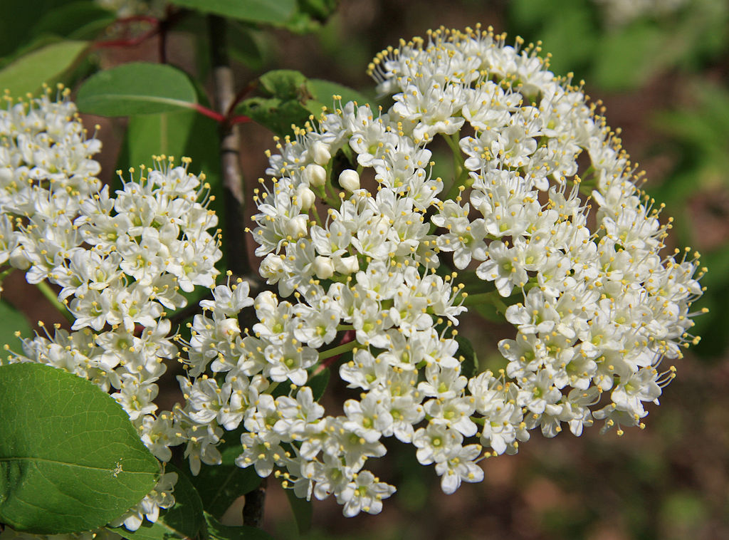 1024px-Wild_raisin_Viburnum_cassinoides_flowers_close