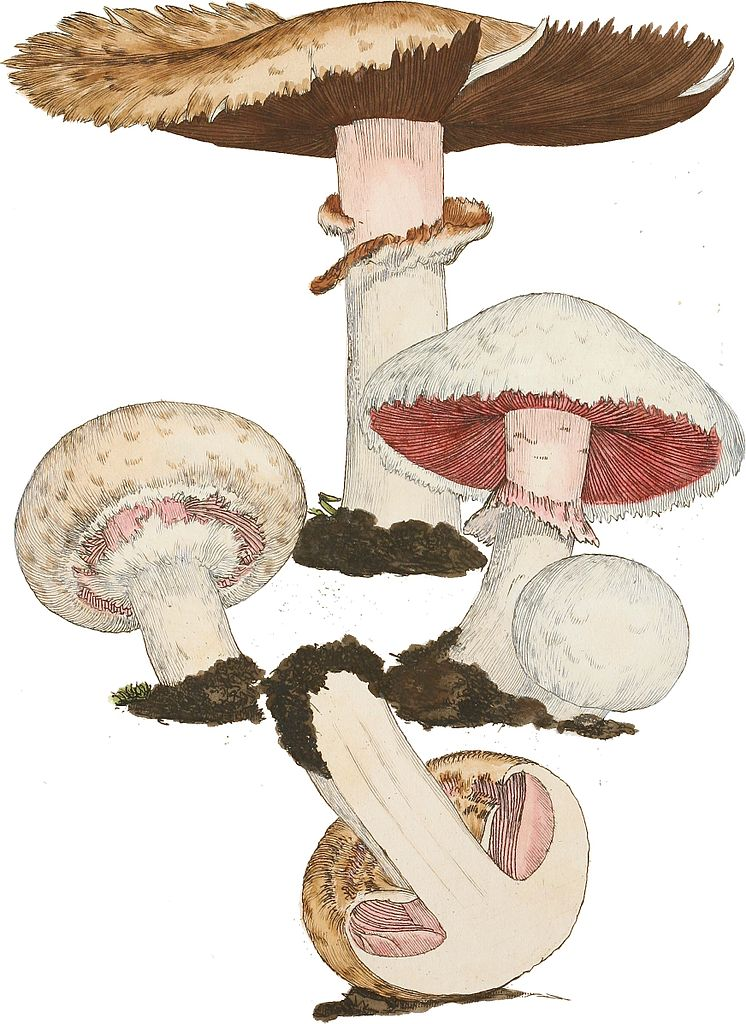 1797-09-03_Agaricus_campestris_Plate_by_James_Sowerby