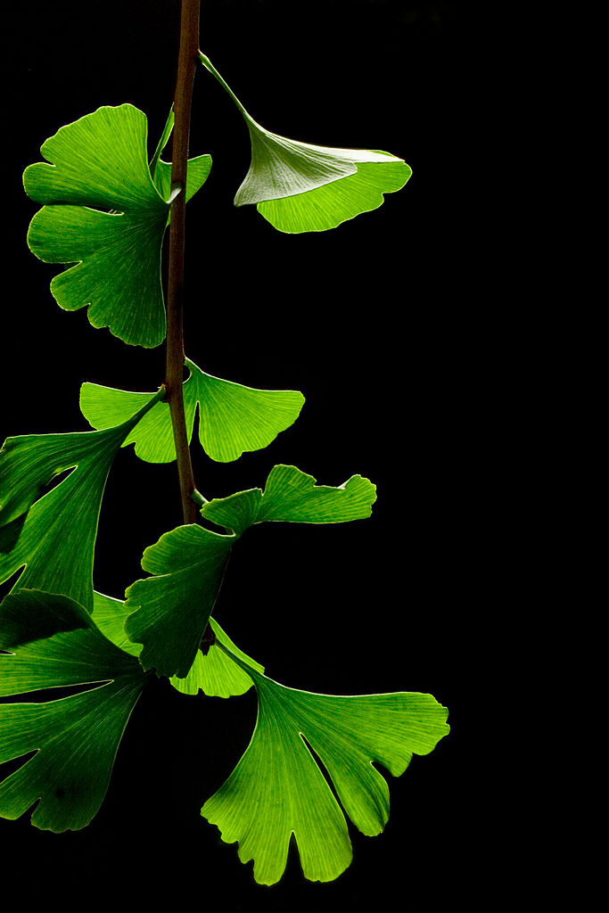683px-Ginkgo_Biloba_Leaves_-_Black_Background