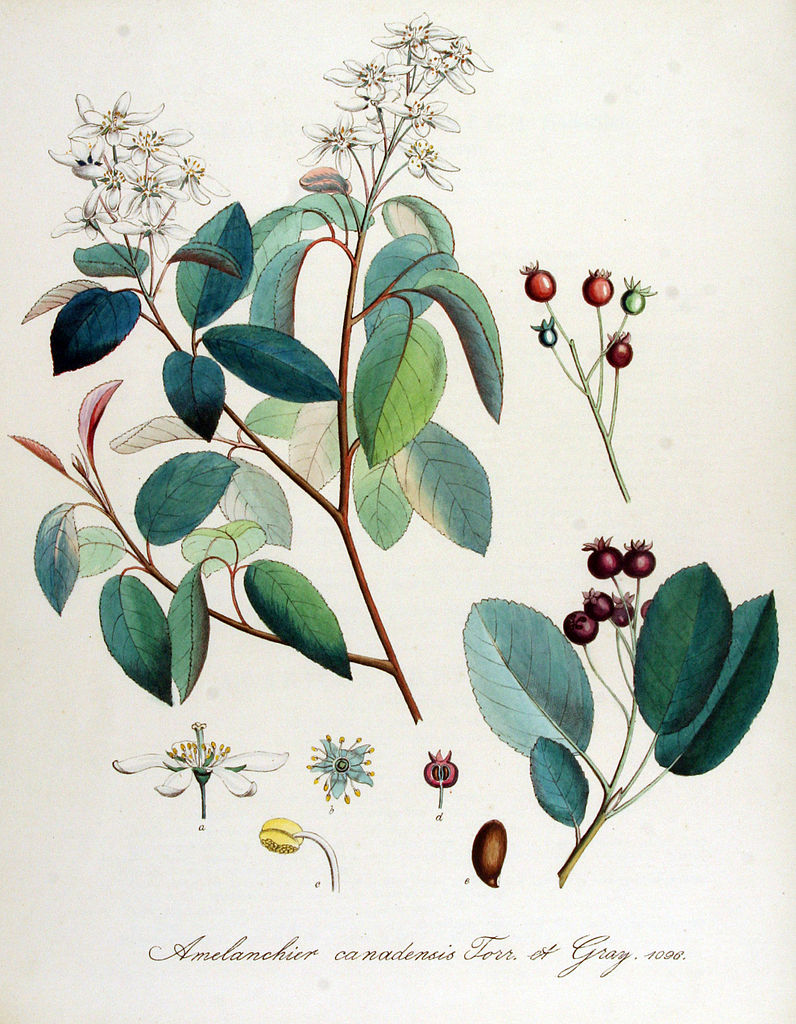 796px-Amelanchier_canadensis