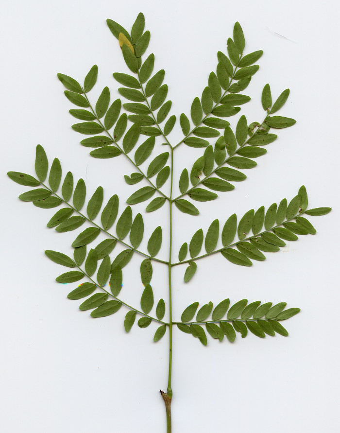 Double compound leaf