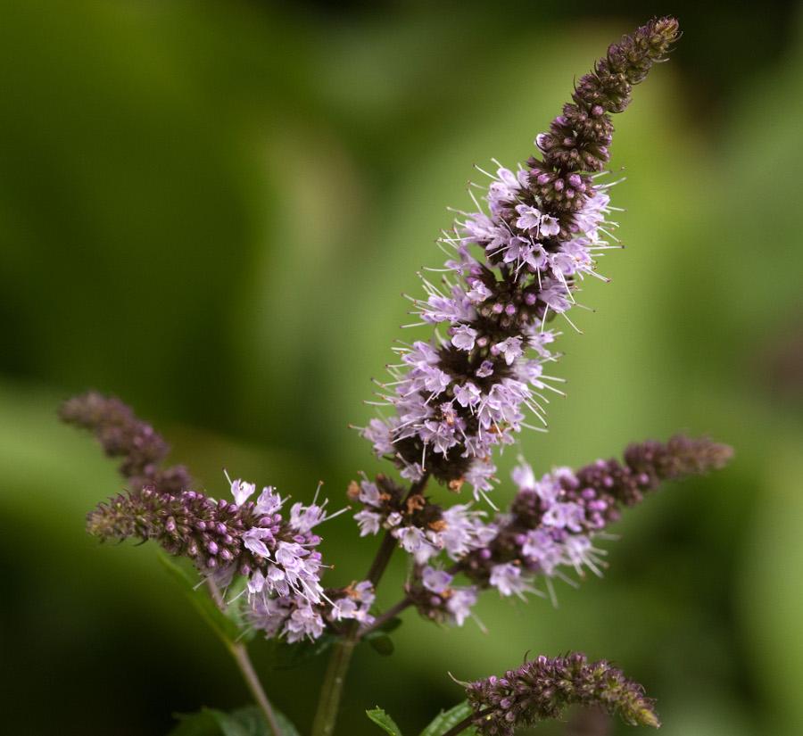 Цветки мяты перечной