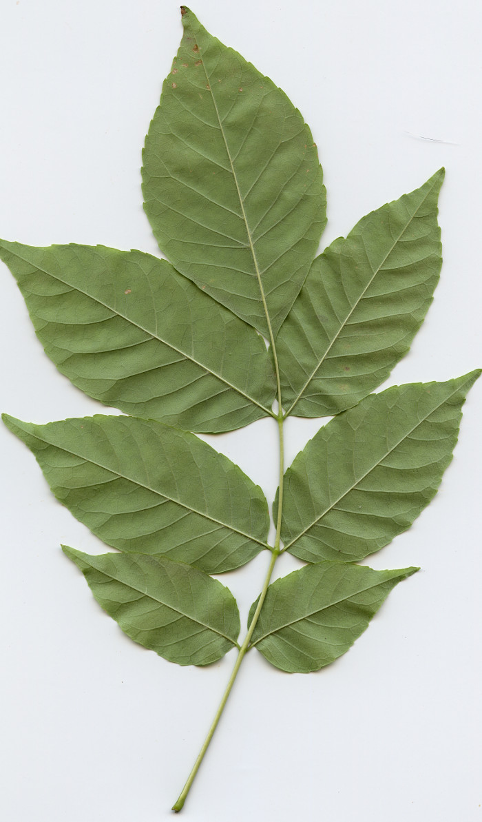 Odd Pinnately Compound leaf