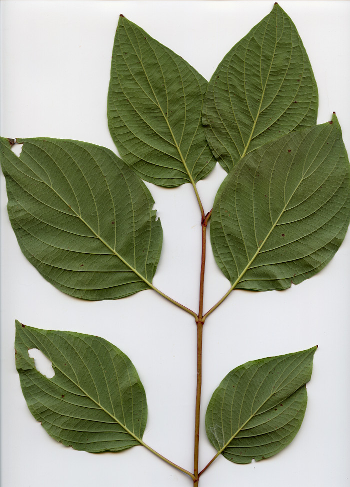 Branch with opposite leaves