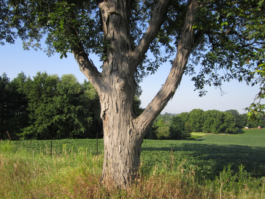 Shagbark Hickory in open
