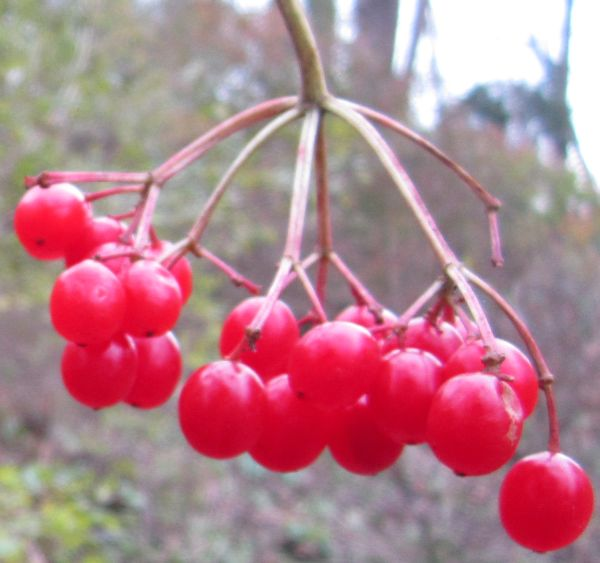 Viburnum opulus berry close
