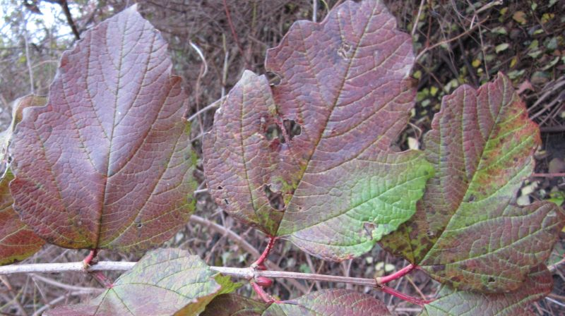 Viburnum opulus leaves