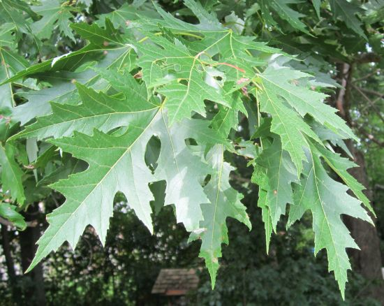 silver maple leaves front