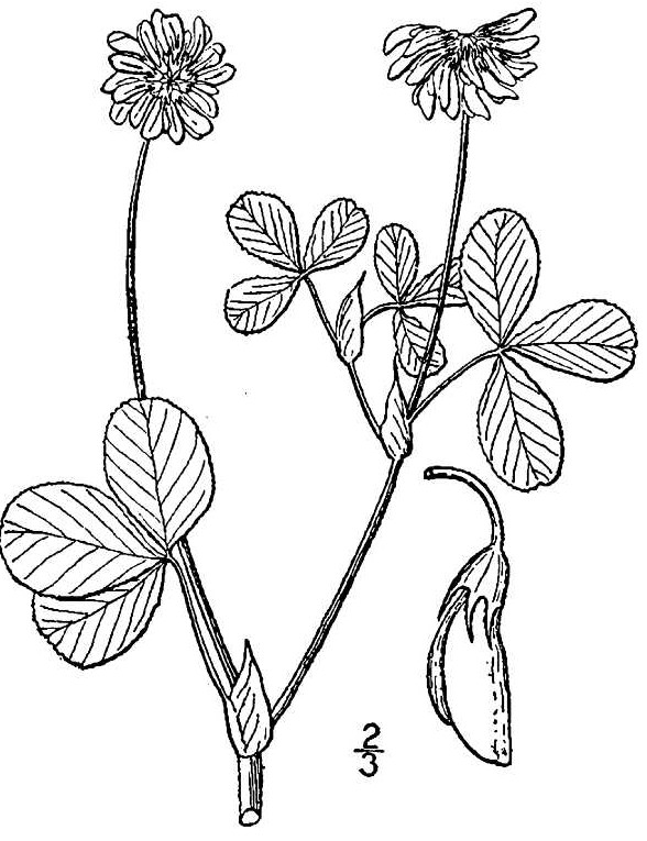 alsike clover drawing usda nrcs plants database britton nl and a brown 1913 an illustrated flora of the northern united states canada and the